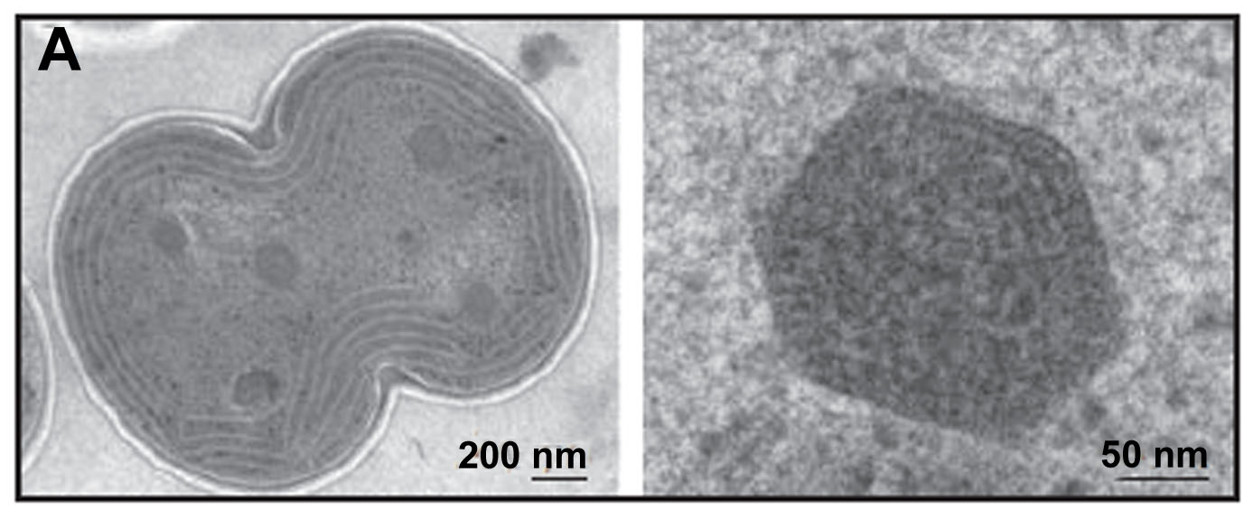 Electron micrograph of carboxysomes (courtesy of Vim Vermaas, adapted from Kerfeld, et al., 2005)