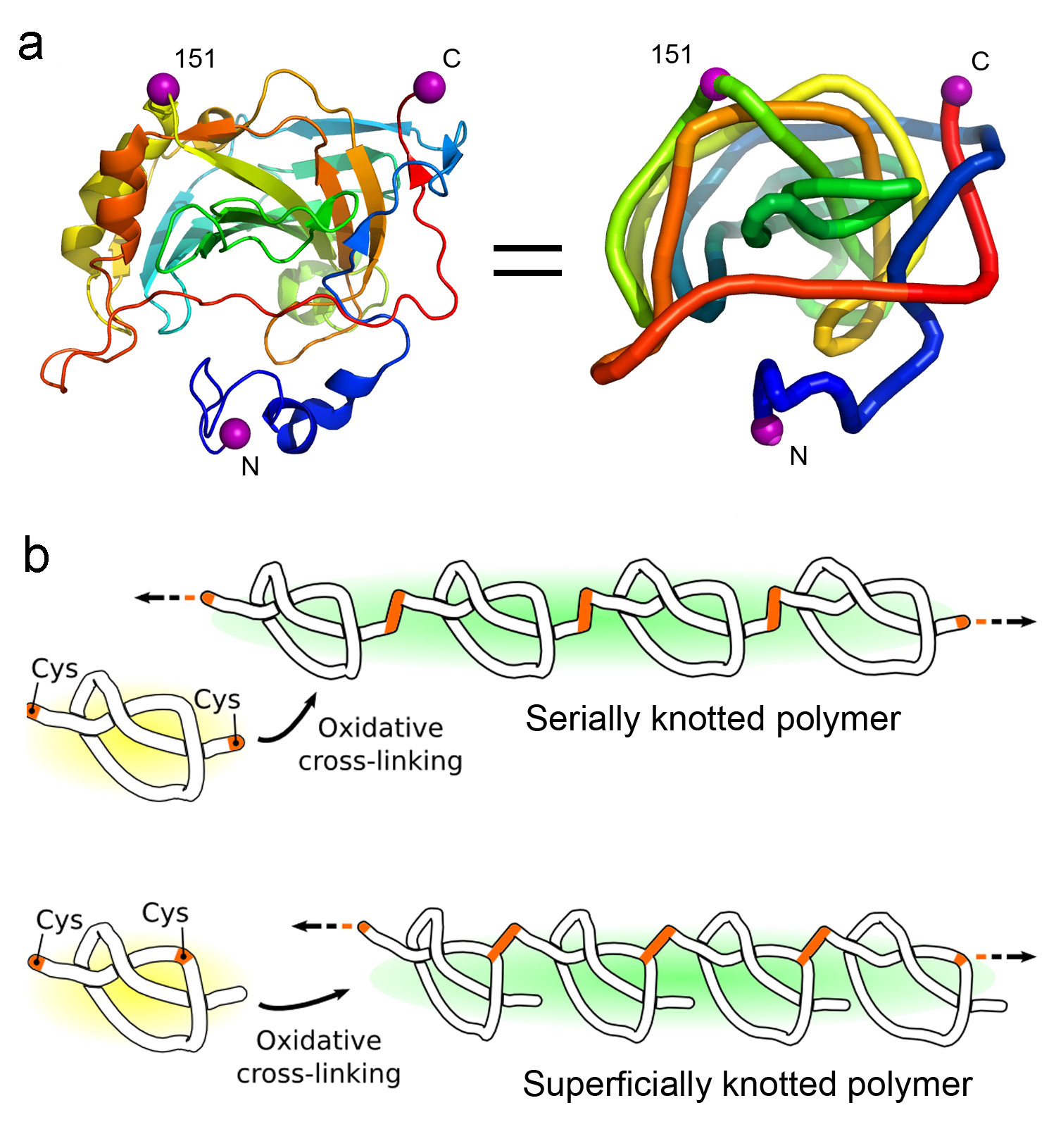 Polymerizing a shallowly knotted protein produces a series of deep knots, which stabilizes the protein compared to the control. (Adapted from Sayre, et al.)