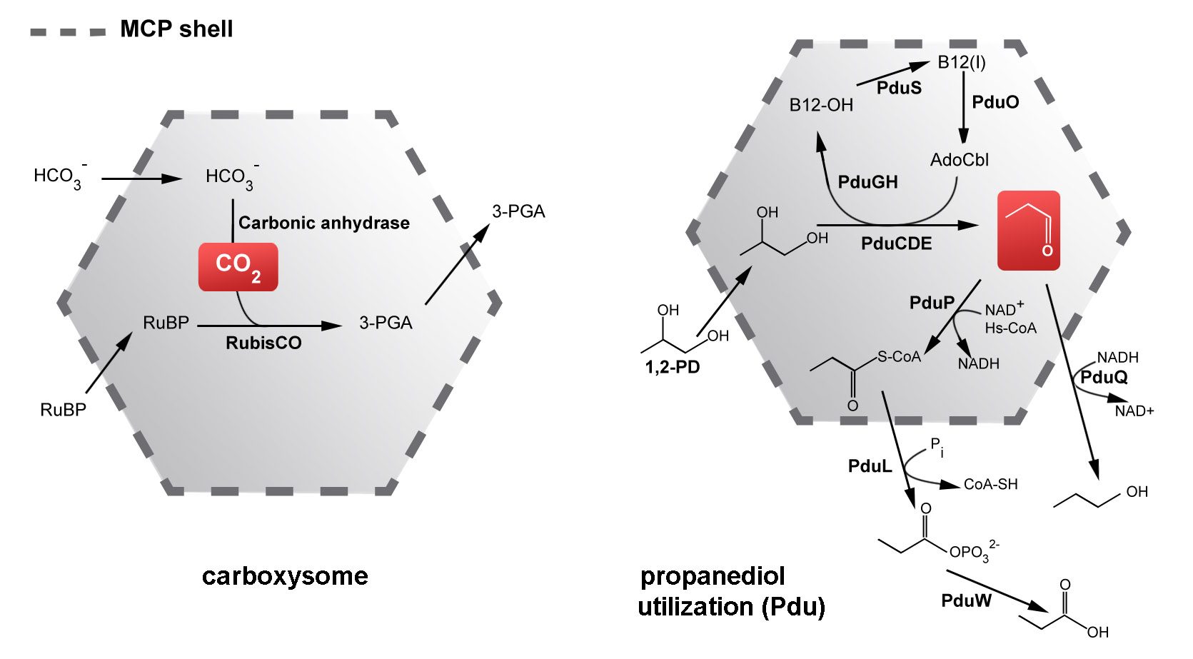 Metabolic functions of two kinds of microcompartments. (Adapted from Yeates, Crowley, & Tanaka, 2010)