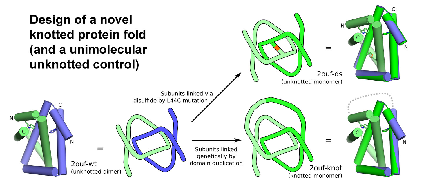 Design of a novel knotted protein fold. Protein folding experiments demonstrate that the knot substantially complicates the folding landscape and retards folding. (Adapted from King, et al. 2010).