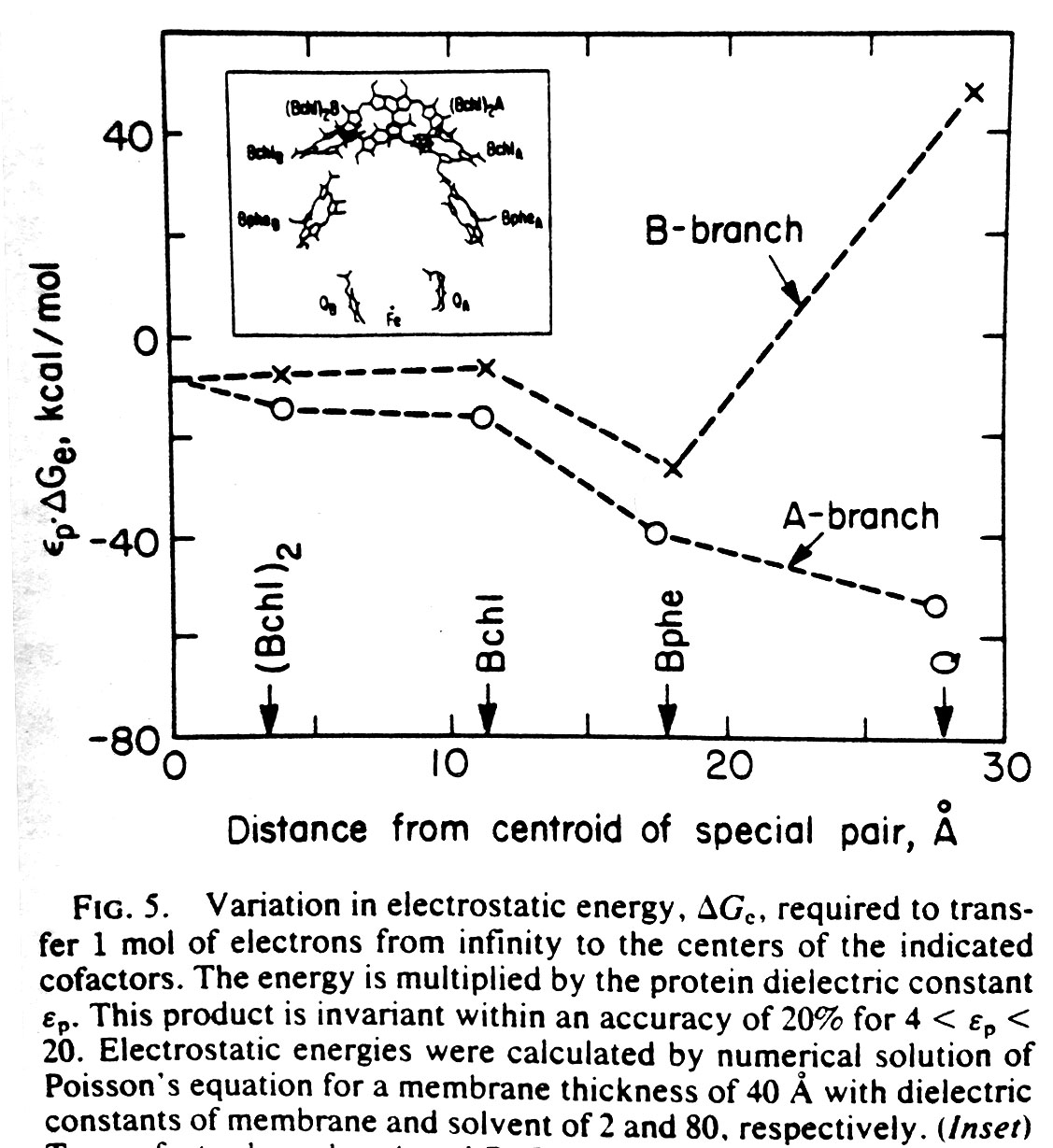 1987 calculation of the electrostatic properties along the two nearly-equivalent cofactor branches in the photosynthetic reaction center by solving the Poisson-Boltzmann electrostatics equations in a non-uniform diectric using successive overrelaxation.