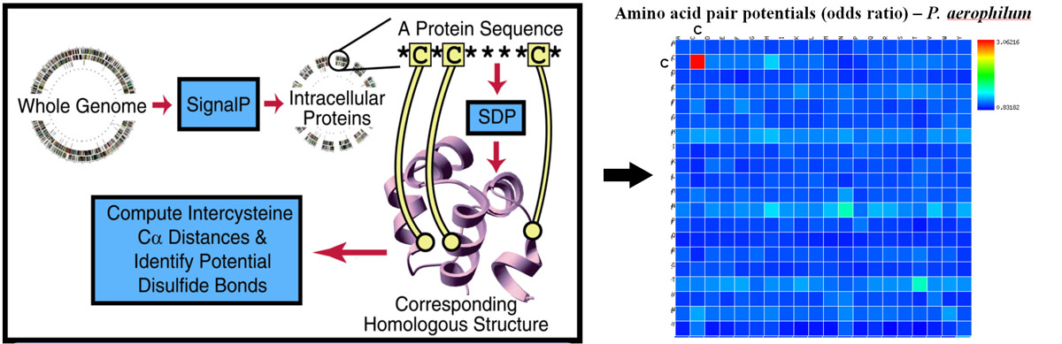 A genome-wide sequence-structure mapping approach shows clear evidence for widespread disulfide bonding in hyperthermophiles. The right panel highlights the tendency of cysteine residues to be mapped into proximity of other cysteine residues in proteins from P. aerophilum. (Adapted from Mallick, et al. and Beeby, et al.)