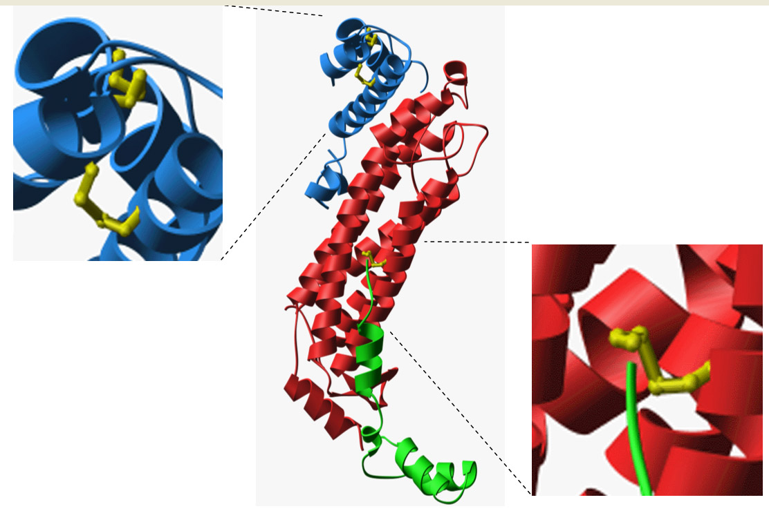 Initial structural evidence for disulfide bonding in P. aerophilum. (Adapted from Toth, et al.)